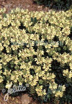 SCUTELLARIA alpina  'Moonbeam' Portion(s)