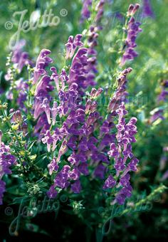 SCUTELLARIA baicalensis  'BLBP 02' Portion(s)