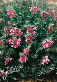 SCUTELLARIA pontica   Portion(s)