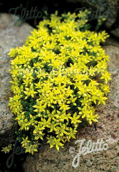 SEDUM acre   Portion(en)