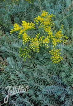 SEDUM montanum ssp. orientale   Portion(s)