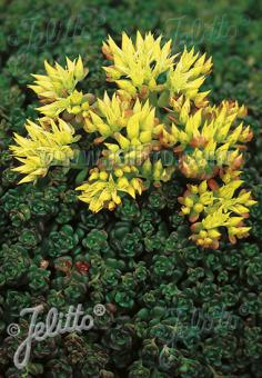 SEDUM oreganum   Portion(s)