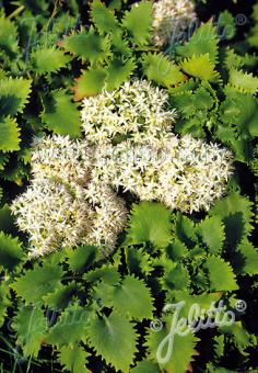 SEDUM populifolium   Portion(s)