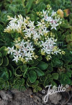 SEDUM spurium  'Summer Snow' Portion(s)