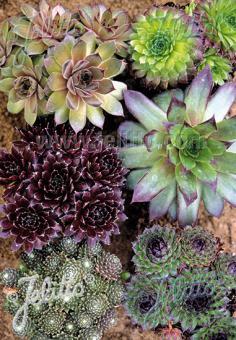 SEMPERVIVUM hybridum  winterharte Arten Portion(en)