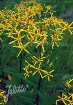 SENECIO nemorensis ssp. fuchsii   Portion(s)