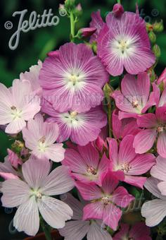 SIDALCEA malviflora  'Starks Hybrids' Portion(s)