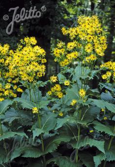 SILPHIUM perfoliatum   Portion(s)