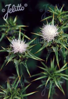 SILYBUM marianum var. albiflorum   Portion(s)