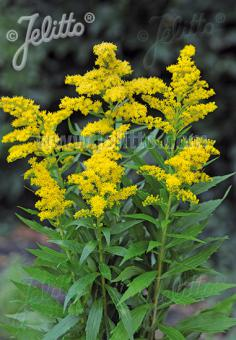SOLIDAGO canadensis  'Golden Baby' Portion(s)