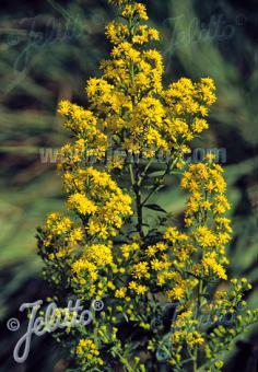 SOLIDAGO roanensis   Portion(en)