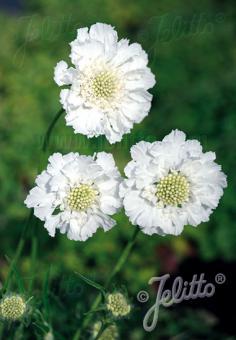 SCABIOSA caucasica  'Fama White' Portion(s)