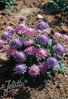 SCABIOSA columbaria  'Misty Butterflies' Portion(en)