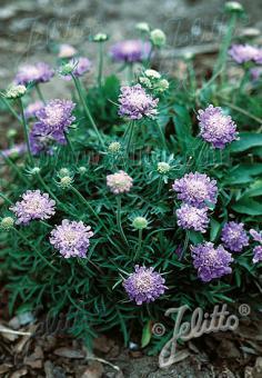 SCABIOSA columbaria f. nana   Portion(s)