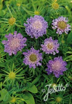 SCABIOSA japonica var. alpina  'Ritz Blue' Portion(s)