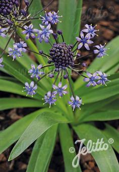 SCILLA hyacinthoides   Portion(s)