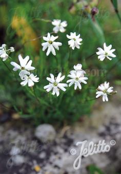 SILENE saxifraga   Portion(s)
