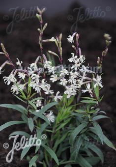 SILENE tatarica   Portion(s)