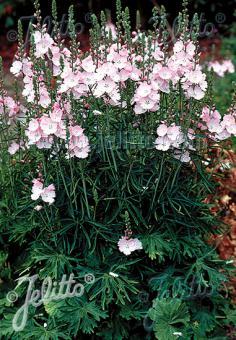 SIDALCEA Malviflora-Hybr.  'Rosaly' Seeds