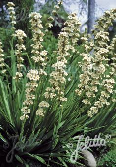 SISYRINCHIUM striatum   Seeds