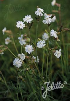 SILENE alba   Portion(en)