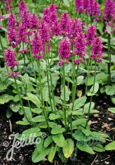 STACHYS officinalis   Portion(s)