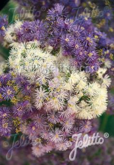 THALICTRUM aquilegiifolium   Portion(s)