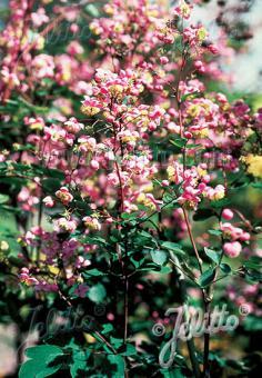 THALICTRUM rochebrunianum   Portion(en)