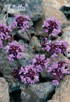 THYMUS polytrichus ssp. britannicus   Portion(en)