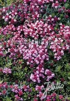 THYMUS serpyllum  'Magic Carpet' Portion(s)
