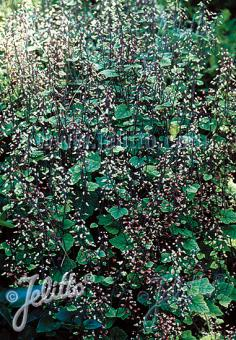 TIARELLA polyphylla  'Filigran' Portion(en)