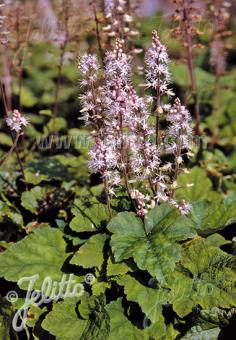 TIARELLA wherryi   Portion(s)