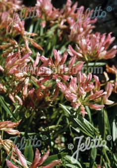 TRIFOLIUM alpinum   Portion(s)