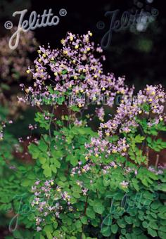 THALICTRUM rochebrunianum var. grandisepalum   Seeds
