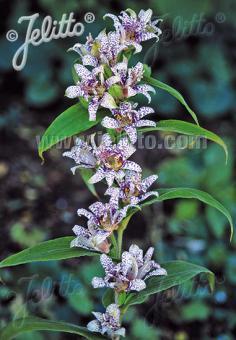 TRICYRTIS Hirta-Hybr.  'Miyazaki' Seeds