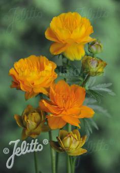 TROLLIUS chinensis  'Golden Queen' Seeds