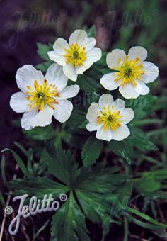 TROLLIUS laxus var. albiflorus   Seeds