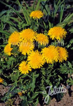 TARAXACUM officinale   Portion(s)
