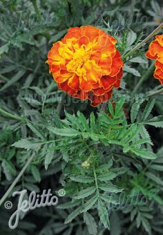 TAGETES patula/erecta  Mix Portion(s)