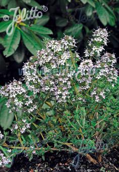 THYMUS fragrantissimus   Portion(s)