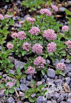 VALERIANA montana   Portion(s)