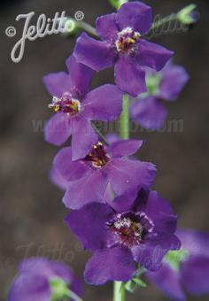 VERBASCUM phoeniceum  wild form Portion(s)