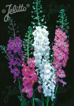 VERBASCUM phoeniceum  Mixed Colours Portion(s)