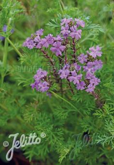 VERBENA tenuisecta   Portion(s)