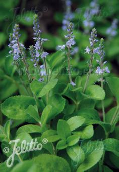 VERONICA officinalis   Portion(s)