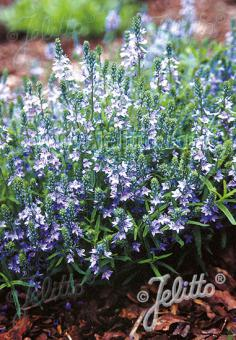 VERONICA prostrata   Portion(s)