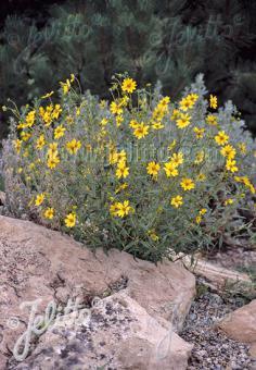 VIGUIERA multiflora   Portion(s)