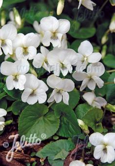 VIOLA sororia  'Albiflora' Portion(en)