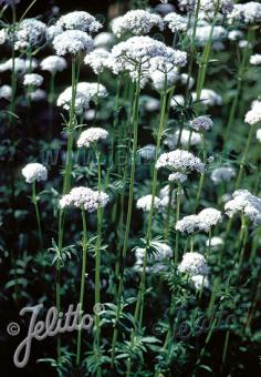 VALERIANA officinalis   Portion(en)