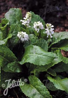 WULFENIA carinthiaca  'Alba' Portion(s)